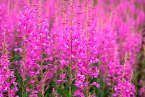 травы и растения для повышения потенции мужчин